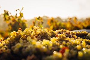 Vinhedo em Barossa Valley, Austrália, parte da cultura australiana de produção de vinhos.