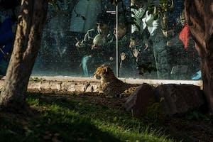 Leão sendo observado no Toronto Zoo